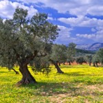 Olive Grove, Israel