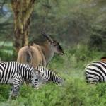 Kenyan Zebras