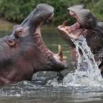Kenya Hippos